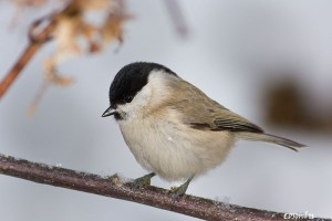 Parus palustris10