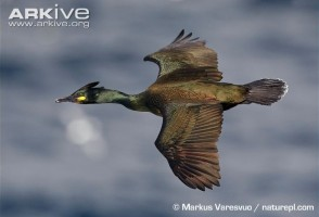 Phalacrocorax aristotelis11