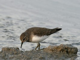 Calidris temminckii1