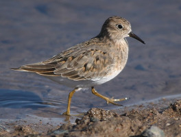 Calidris temminckii10