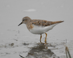 Calidris temminckii11