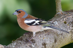 Common Chaffinch1