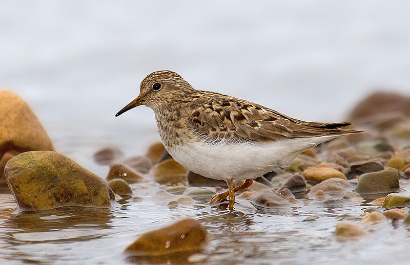 Calidris temminckii