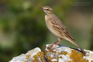 Anthus campestris1