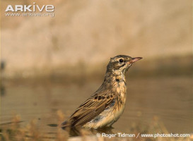 Anthus campestris10