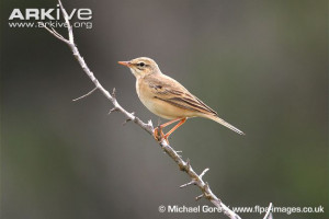 Anthus campestris11