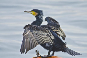 Phalacrocorax carbo1