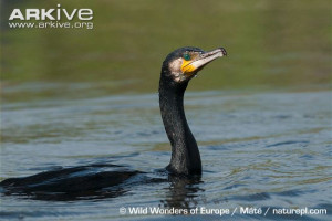 Phalacrocorax carbo10