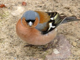 Common Chaffinch10