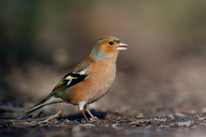 Common Chaffinch11