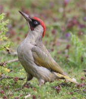 Green Woodpecker10