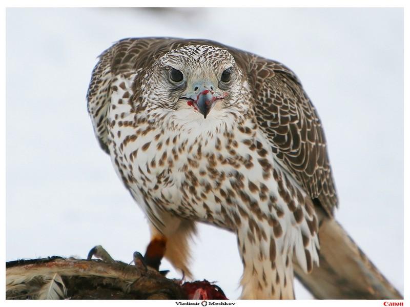 формация очень кречет фото птицы и описание ног